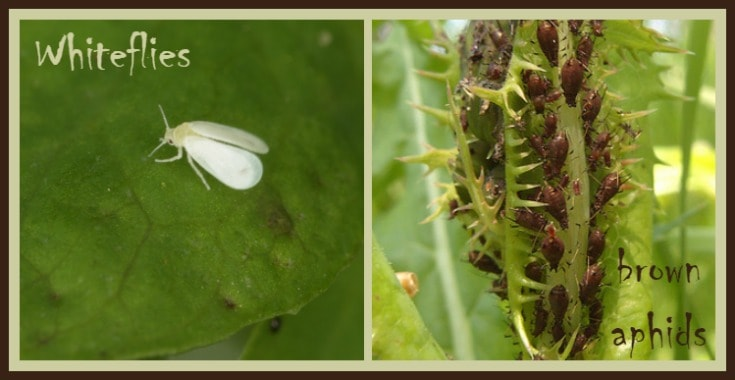 whiteflies & brown aphids  http://www.vegetarianzen.com