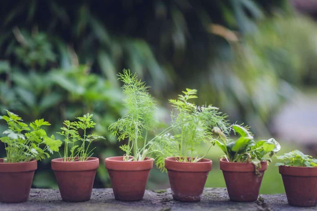 herbs in pots from herb gardening